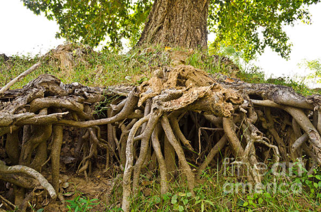 tree roots 2